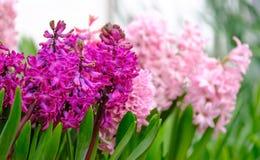 Świezi kwiatonośni hiacynty makro- Fotografia Stock