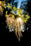 Świezi liście i okwitnięcia w świetle słonecznym Zdjęcia Royalty Free