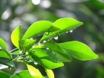 Świezi liście po deszczu Fotografia Royalty Free