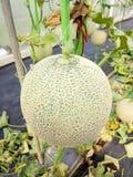 Świezi melony, zieleni melony lub kantalupów melony zasadzają dorośnięcie w szklarni zdjęcia royalty free