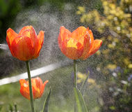 Świezi narastający tulipany z rosa kroplami zdjęcie stock