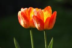 Świezi narastający tulipany z rosa kroplami obrazy royalty free