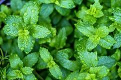 Świezi nowi liście z raindrops fotografia stock