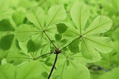 Świezi nowi zieleni kasztanów liście w wiośnie Obraz Stock
