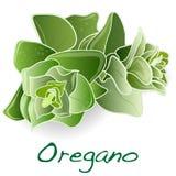 Świezi oregano liście ilustracja wektor