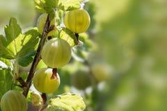 Świezi organicznie agresty r w świetle słonecznym na krzaku wewnątrz Fotografia Royalty Free