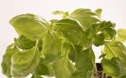 Świezi organicznie basilów liście Obraz Royalty Free