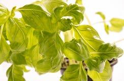 Świezi organicznie basilów liście Zdjęcie Royalty Free