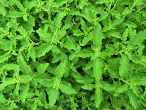 Świezi organicznie basilic liście Święty basil fotografia stock