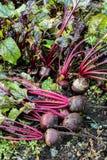 Świezi organicznie Beetroot wyprostowywają z ziemi Organicznie ogrodnictwo przy swój świetnym Zdjęcia Royalty Free