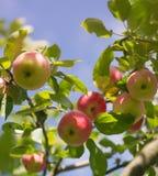 Świezi organicznie czerwoni jabłka na gałąź fotografia royalty free