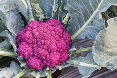 Świezi organicznie kalafiorowi warzywa sałatkowi w gospodarstwie rolnym dla zdrowie, jedzenia i rolnictwa pojęcia projekta, Zdjęcia Royalty Free