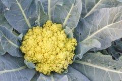 Świezi organicznie kalafiorowi warzywa sałatkowi w gospodarstwie rolnym dla zdrowie, jedzenia i rolnictwa pojęcia projekta, Fotografia Royalty Free