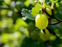 Świezi organicznie zieleni agresty na gałąź agrestowy krzak w owoc uprawiają ogródek Fotografia Royalty Free
