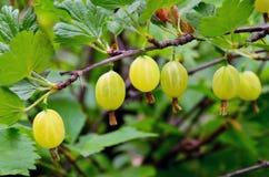 Świezi organicznie zieleni agresty na gałąź agrestowy krzak w owoc uprawiają ogródek Zdjęcia Royalty Free