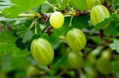 Świezi organicznie zieleni agresty na gałąź agrestowy krzak w owoc uprawiają ogródek Zdjęcie Royalty Free