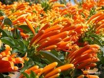 Świezi pomarańcze kwiaty Zdjęcie Stock