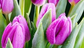 świezi purpurowi tulipany Obraz Stock
