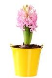 Świezi różowi hiacynty w żółtym wiadrze Zdjęcia Royalty Free