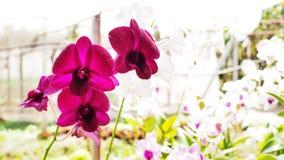Świezi różowi orchidea kwiaty zdjęcie royalty free