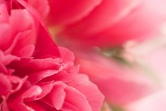 Świezi różowi peonia kwiaty Obraz Stock