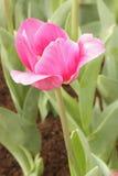 Świezi różowi tulipany obraz royalty free