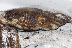 Świezi rzędów cuttlefish Obrazy Stock