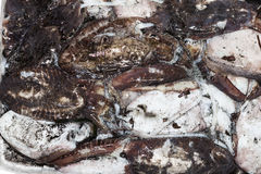 Świezi rzędów cuttlefish Obraz Stock