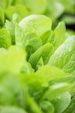 Świezi sałata liście, zamykają up karmowy zdrowy organicznie Fotografia Royalty Free
