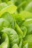 Świezi sałata liście, zamykają up karmowy zdrowy organicznie Obraz Stock