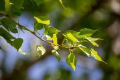 Świezi topola liście Mokrzy żywiców liście Zdjęcia Stock