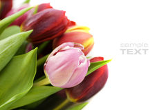 świezi tulipany Zdjęcia Stock