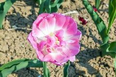 Świezi tulipany r przy kwiatem Zdjęcia Royalty Free