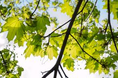 Świezi wapno liście klonowi w słońcu foalfoot maluje wiosna obrazy royalty free