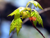 Świezi wiosna liście, kwiaty i Fotografia Royalty Free