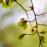 Świezi wiosna liście pospolitego buku Fagus sylvatica Obraz Stock