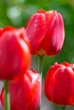 Świezi wiosna tulipany kwitną z wodnymi kroplami w ogródzie Fotografia Royalty Free