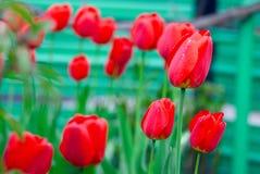 Świezi wiosna tulipany kwitną z wodnymi kroplami w ogródzie Obrazy Royalty Free