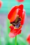 Świezi wiosna tulipany kwitną z wodnymi kroplami w ogródzie Zdjęcia Stock