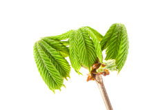 Świeżego wiosny conker nowi liście z gałąź odizolowywającą Fotografia Royalty Free