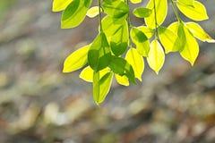 Świezi wiosny zieleni liście Obrazy Royalty Free