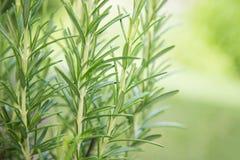 świezi zielarscy rozmaryny fotografia stock