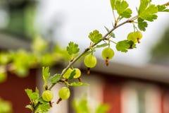 Świezi zieleni agresty na gałąź Obraz Royalty Free