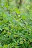 Świezi zieleni agresty na gałąź Obraz Stock