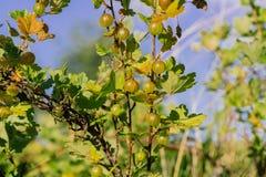 Świezi Zieleni agresty Na gałąź Agrestowy Bush Zdjęcie Royalty Free