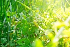 Świezi zieleni agresty na gałąź agrestowy krzak z światłem słonecznym Zdjęcia Royalty Free