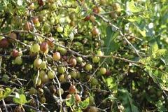 Świezi zieleni agresty na gałąź agrestowy krzak z światłem słonecznym agrest w owocowym ogródzie Zdjęcie Royalty Free