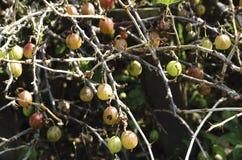 Świezi zieleni agresty na gałąź agrestowy krzak z światłem słonecznym w owocowym ogródzie Obraz Stock