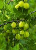 Świezi zieleni agresty na gałąź agrestowy krzak z słońcem Zdjęcie Stock