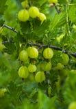 Świezi zieleni agresty na gałąź agrestowy krzak z słońcem Obraz Royalty Free